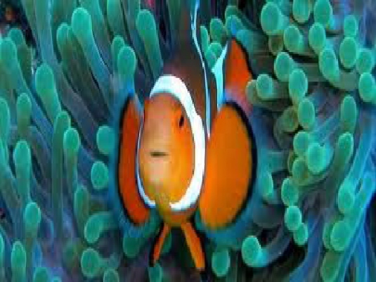 clown fish 3