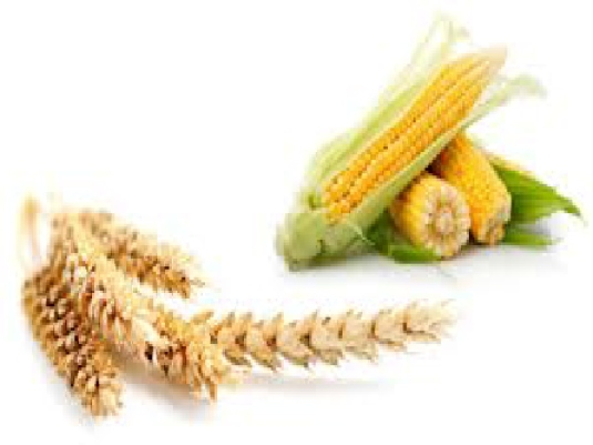 corn and wheat 1