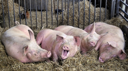 welfare-pigs-3.jpg?w=535&h=300