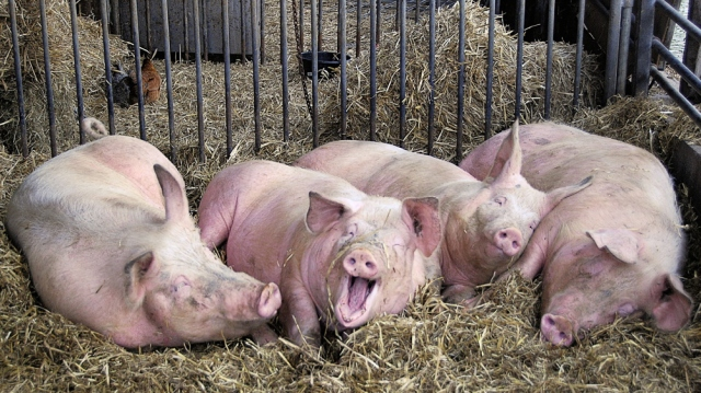 Image result for cartoon of welfare pigs at the trough