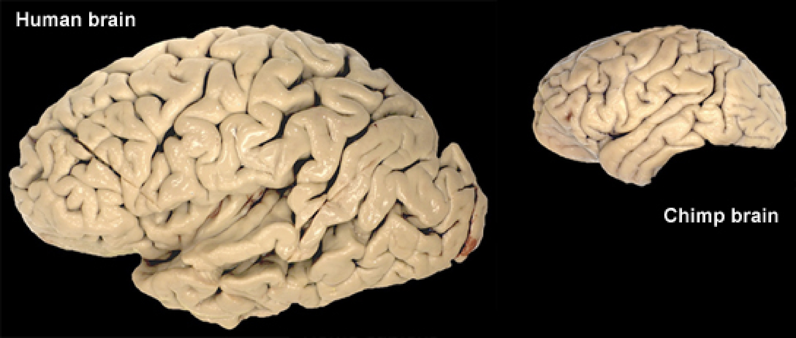 """the similarities and differences of human beings Similarly, one could imagine there being a """"language module"""" in the brain,   although the apparent similarities between ram and short-term or  human  subjects continue to answer those questions by gaze rather than rote."""