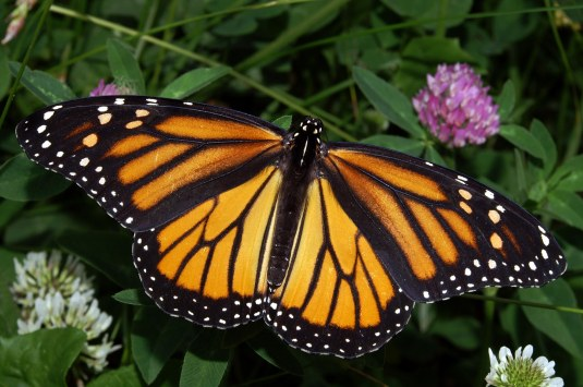 Monarch_In_May (2)