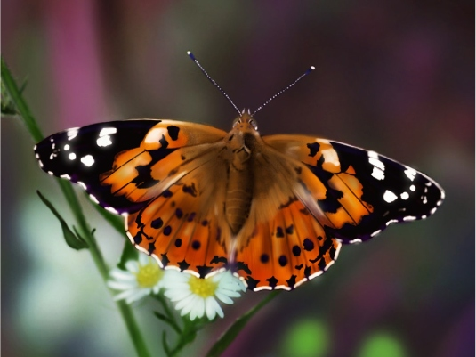 painted Lady butterfly 1a