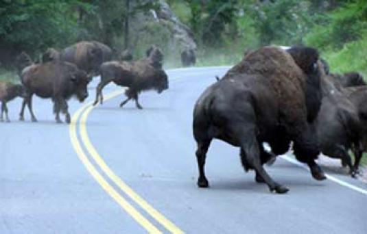 Buffalo crossing the road