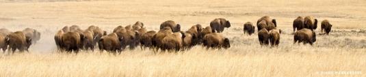 herd of American bison 1