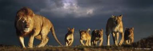 a pride of lions 1