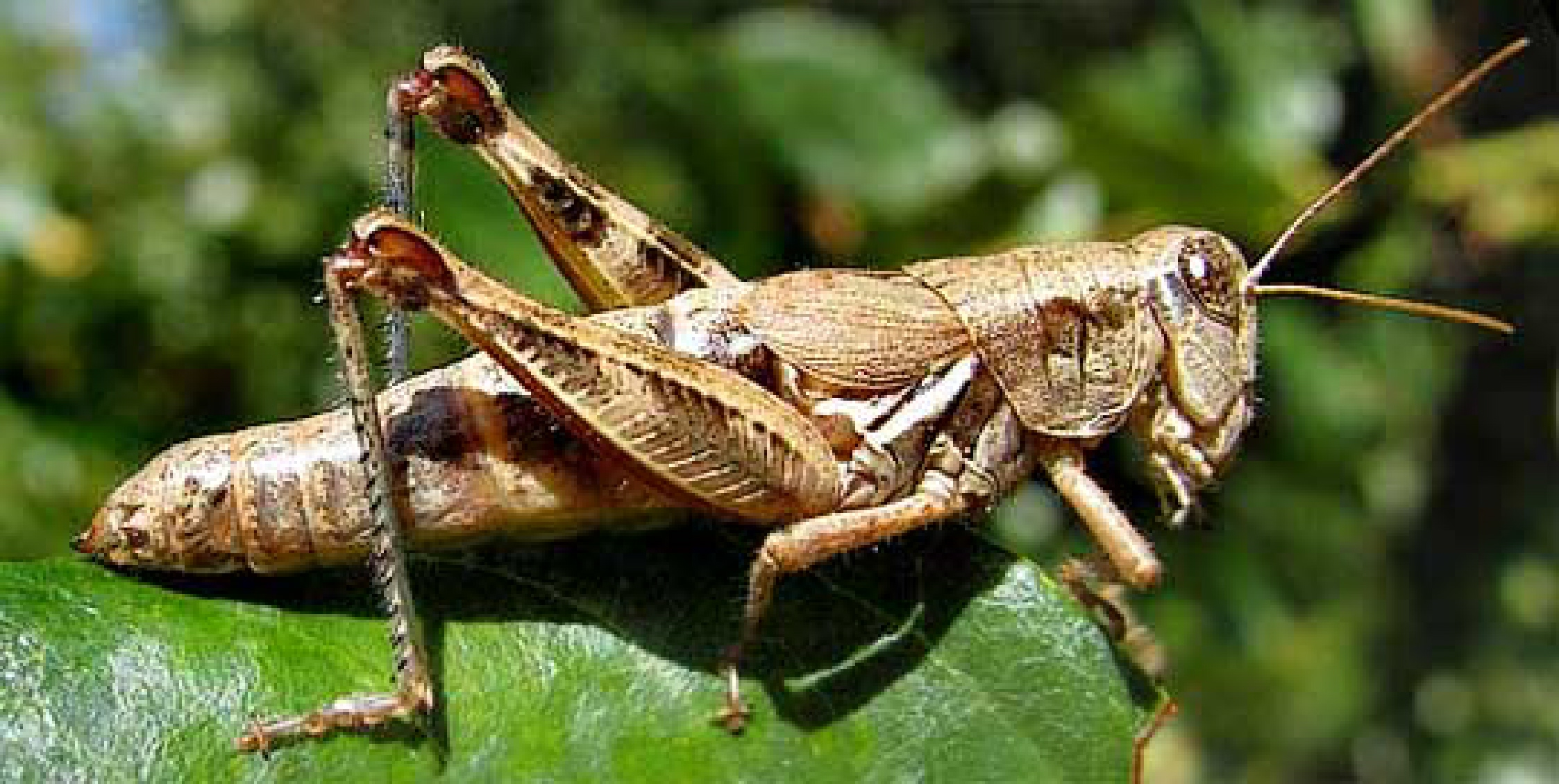 Sunday Morning Trivia Grasshoppers on Grasshopper Life Cycle