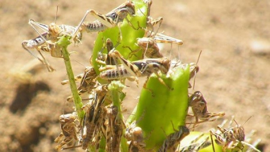 grasshoppers eating corn stocks
