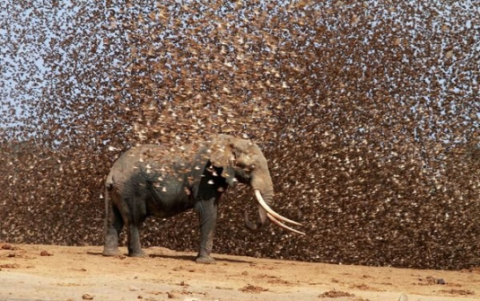 locus attacking elephant 1