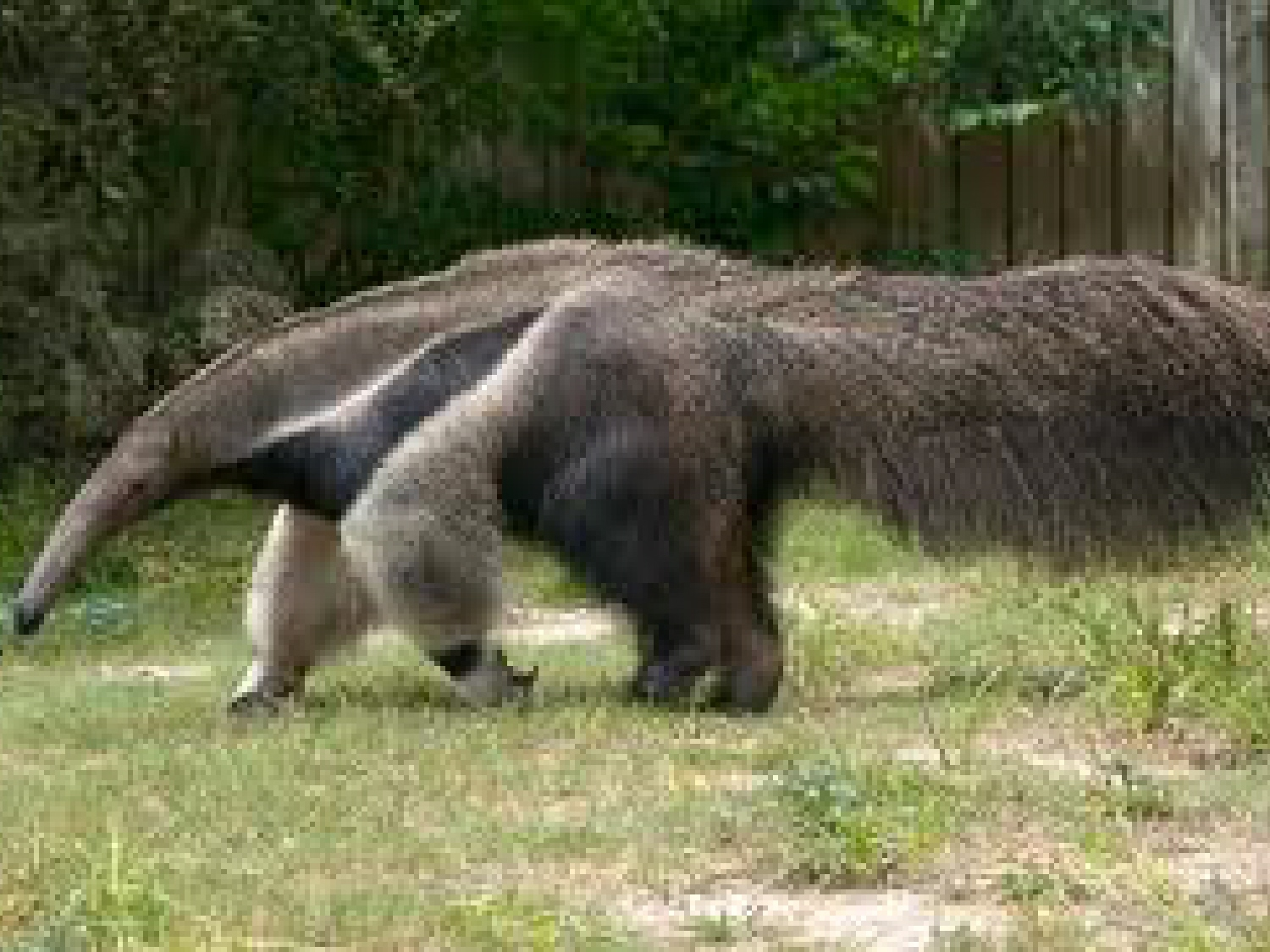 Fun Anteater Facts for Kids
