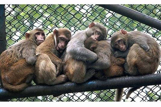five monkeys 1