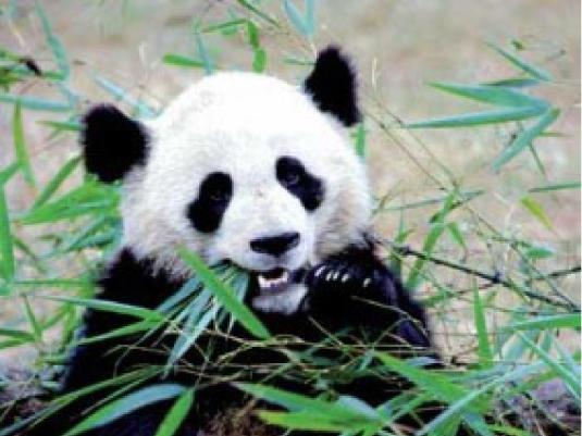 panda - big bamboo 1a