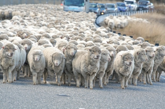 sheep holding up traffic 1