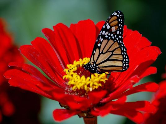 Butterfly%20on%20a%20Red%20Flower