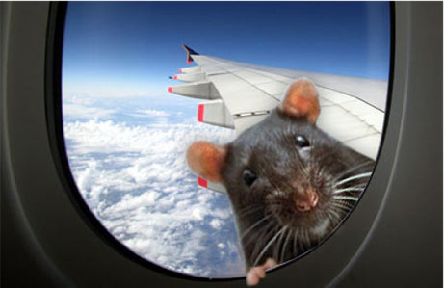 Have flying rats ass