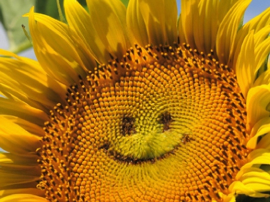 sunflower - smiley face 1a