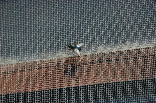 house fly - screen door 1