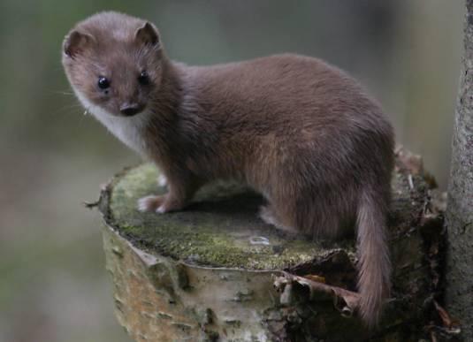 least_weasel-148215