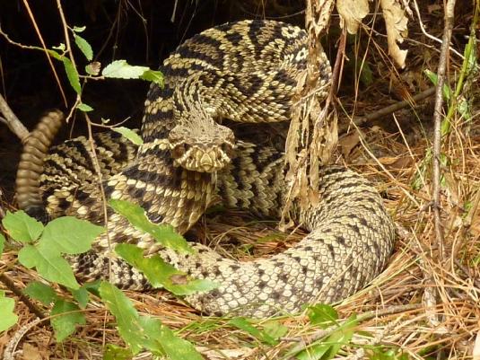 diamondback rattlesnake - graph