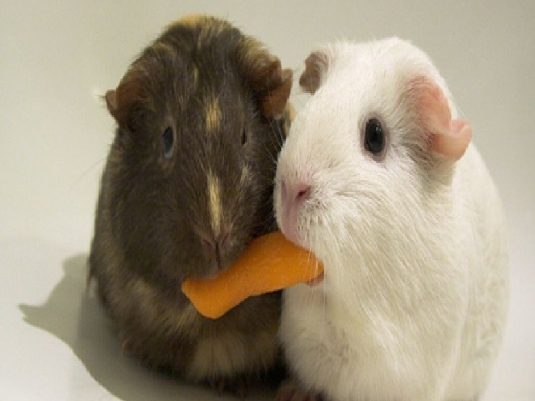 guinea pigs - sharing 1a