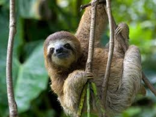 three toed sloth - graphic 1