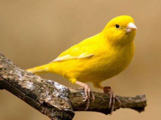 yellow bird - graphic 1