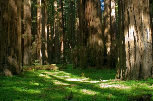 giant redwood trees 1