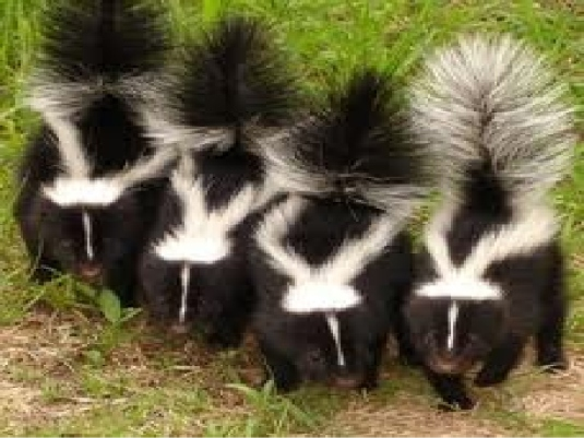 natures polecats 1