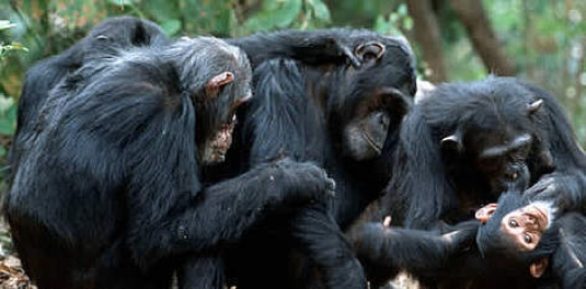 chimpanzee family 1