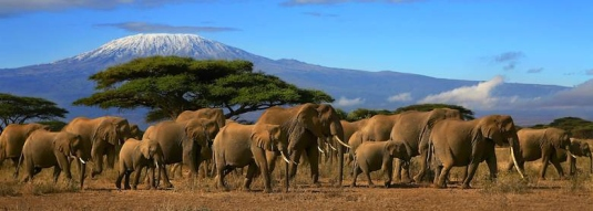 elephants in Africa 1