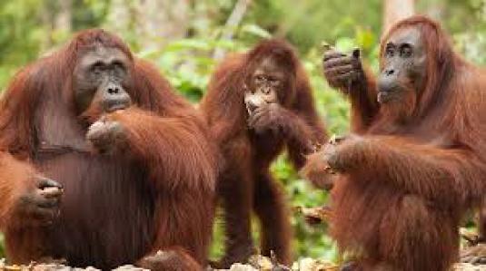 orangutan family 1