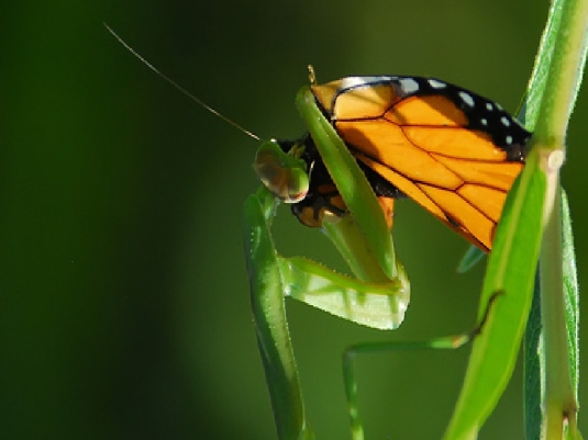 butterfly and mantis  3