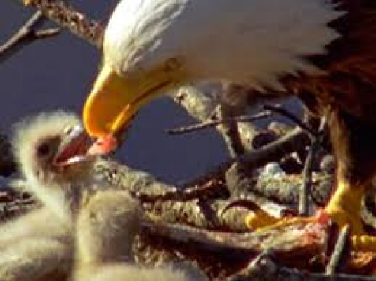 eagle feeding check